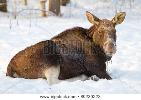Elk Lying On The Snow
