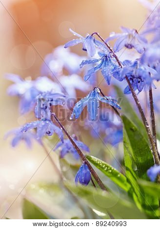 Spring Blue Flowers - A Scilla Siberica
