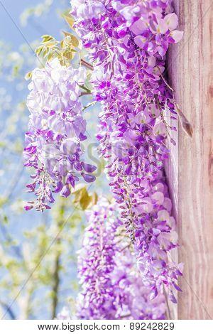 Spring season. Japanese wisteria flowers.