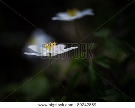 White Springtime Anemone In Close Up.