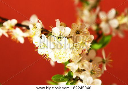 White Plum Tree Flowers Blossoms