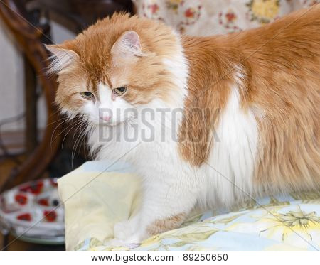 Red Cat On The Bed
