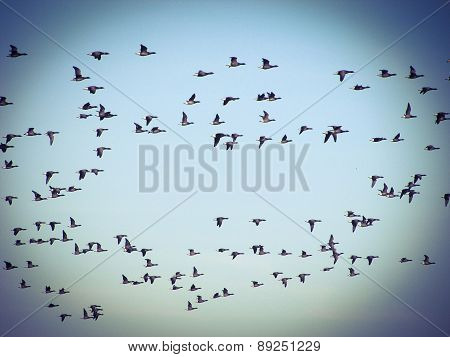 flock of geese migrating