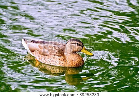 Duck wild in green water pond