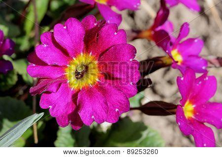 Beautiful Colorful Petunia Flower