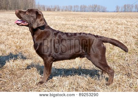 Chocolate Labrador Retriever Puppy (age 7 Months).