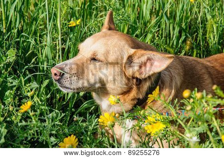 Beautiful Brown Dog Smells A Flower