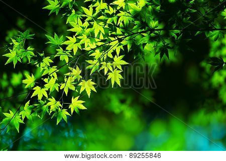 Young green spring leaves background. Illuminated Maple leaves in the woods.