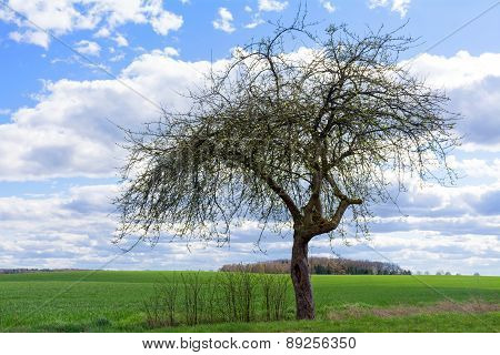 Old Apple Tree In Spring Against Blue Sky With Clouds