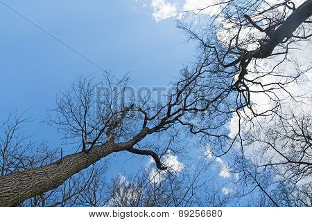 Treetops Of  Bare Trees Meet In The Blue Sky
