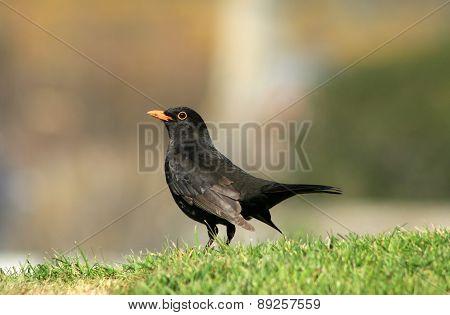 Posing Blackbird