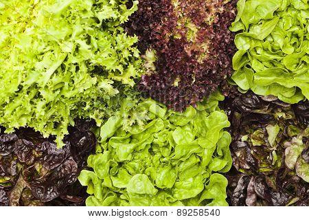 Assortment Of Lettuces