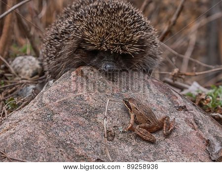 Hedgehog and little frog