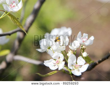 Bee Pollinating Flowering Branches Of A Tree