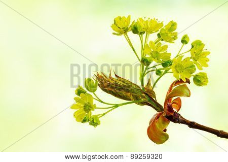 Spring Flowers Of The Norway Maple Tree, Acer Platanoides, Against Blurry Background