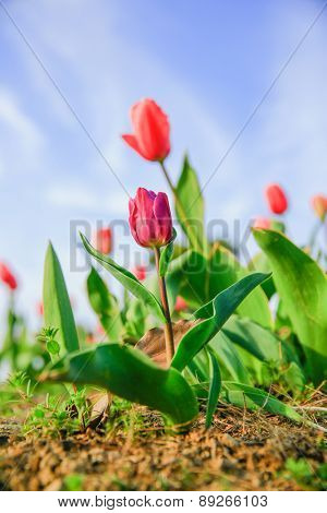 Tulip in the garden with sky background.