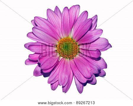 Lavender Daisy On White