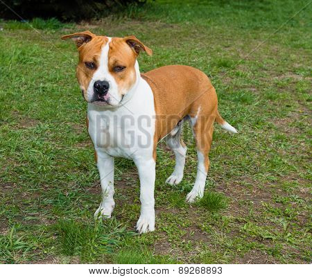 American Staffordshire Terrier right side.