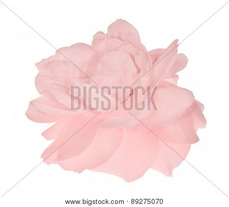 single pink rose flower isolated on white background