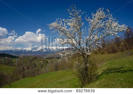 Blossom Tree And Mountains