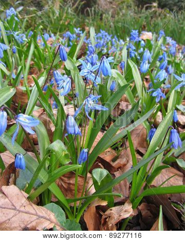 Squill Blooming in Spring
