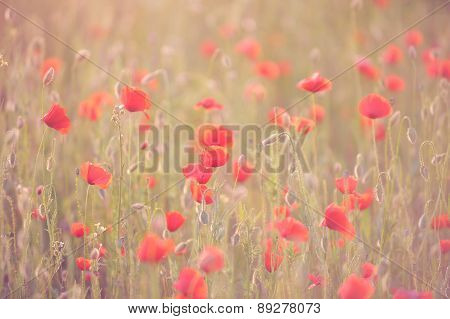Red poppies with rose against the light, growing in the meadow.