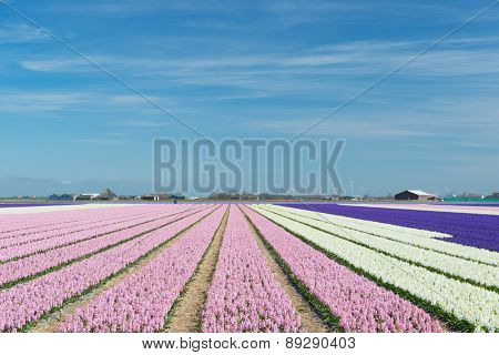 Dutch landscape with flower bulbs in pink and purple in fields