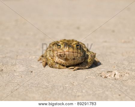 Frog sitting on the pavement