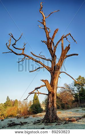 Dead tree on a frosty morning.