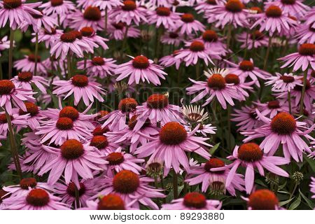 echinacea purpurea flowers