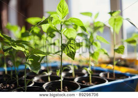 Macro Of Seedlings Potted In Peat Tray