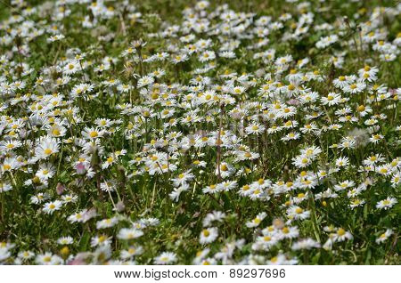 Chamomile and grass