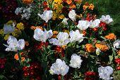 picture of rockefeller  - White tulips in the park - JPG