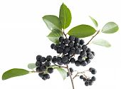 stock photo of aronia  - cluster ripe aronia  - JPG