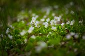foto of sorrel  - Beautiful small flowers of wood sorrel blooming in early springtime in forests - JPG