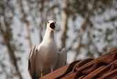 foto of scream  - a screaming seagull sitting on a roof - JPG