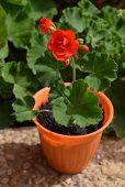 stock photo of geranium  - Red geranium flower in a orange flowerpot in the garden - JPG