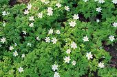 pic of windflowers  - Anemone nemorosa white flowers in spring forest - JPG