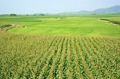 foto of maize  - Viietnamese agricultural field at Daklak Vietnam vast maize field intercrop with paddy plant good crop on plantation - JPG