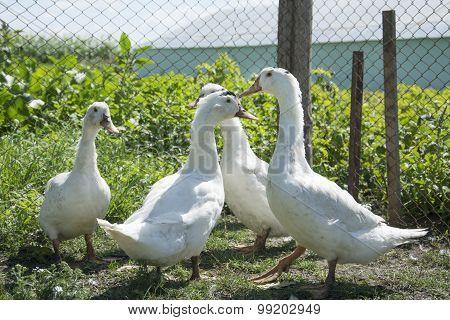 Summer Duck Standing On The Grass.