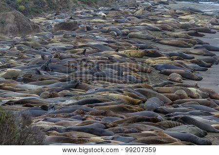 Elephant Seals - (mirounga Angustirostris)