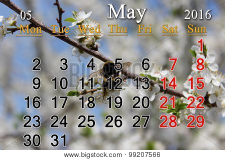 Calendar For May 2016 And Blossoming Tree Of Cherry