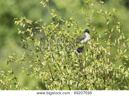 Eastern Kingbird On Branch