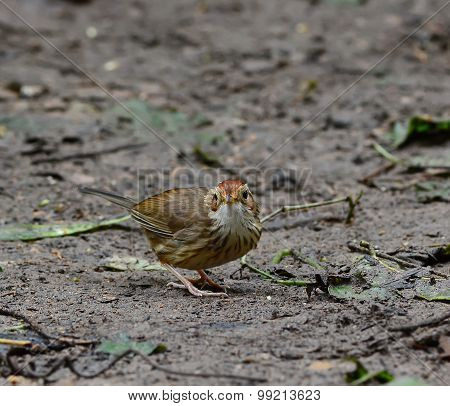 Bird Puff Throat-ed Babbler On The Ground