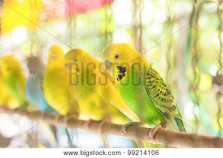 Budgerigar In Birdcage