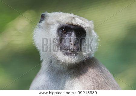 Grey Langur (semnopithecus Schistaceus)