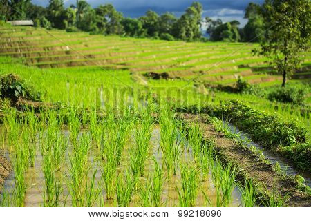 Close up green paddy rice field Chiang Mai ,Thailand. Selective focus point.
