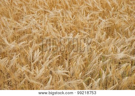Golden Ripe Wheat Background