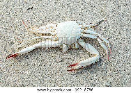 Dead White Crab On Sandy Beach