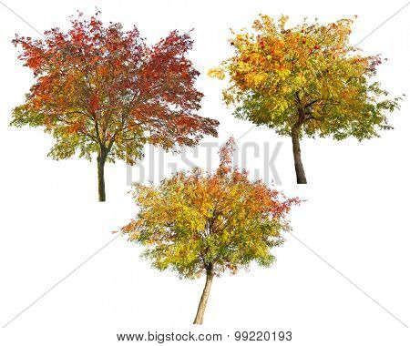 three rowan trees with berries isolated on white background